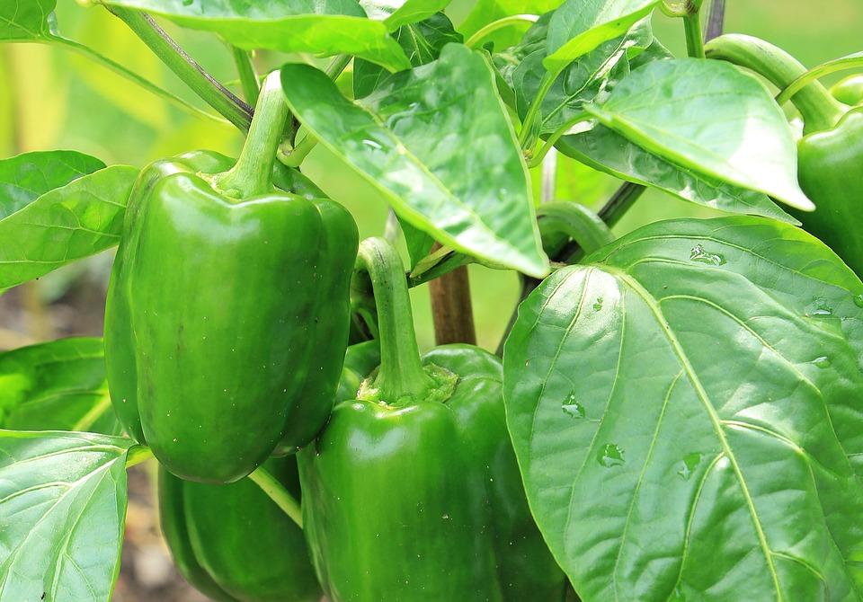 Green Pepper (100+ Seeds)