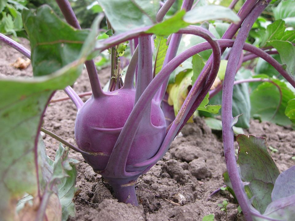 Purple Kohlrabi (100+ Seeds)