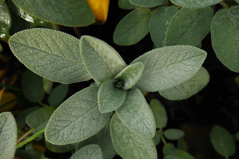 Sage (120+ Seeds)
